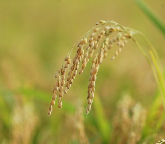 Genomic history and ecology of the geographic spread of rice